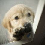 Como Adoptar Um Cão