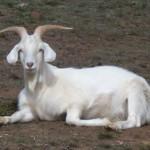 Como cabras e mosaicos podem ajudar no combate aos incêndios – Bruno Neves